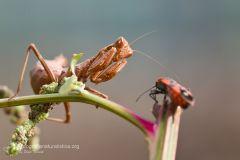 Ameles spallanzania, mantide nana, Dwarf Mantis, Kleine Fangschrecke,