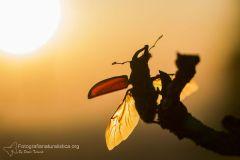 cervo volante, Lucanus cervus, Stag Beetle, Hirschkäfer, lucane cerf-volant