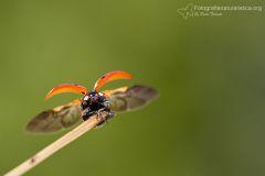 Coccinella, Coccinella septempunctata, seven-spot ladybird, mariquita de siete puntos, Coccinelle à sept points, Siebenpunkt-Marienkäfer, -Marienkäfer