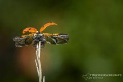 Coccinella, Coccinella septempunctata, seven-spot ladybird, mariquita de siete puntos, Coccinelle à sept points, Siebenpunkt-Marienkäfer, -Marienkäfer_1