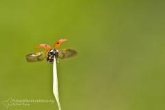 Coccinella, Coccinella septempunctata, seven-spot ladybird, mariquita de siete puntos, Coccinelle à sept points, Siebenpunkt-Marienkäfer, -Marienkäfer_2