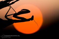 Mantide religiosa, European mantis, praying mantis, Europäische, Gottesanbeterin, santateresa, Mante religieuse,