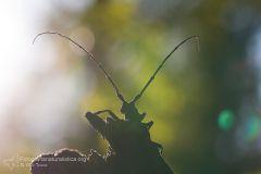 Morimus_asper_Phrissomini_Cerambycidae_longhorn_beetle