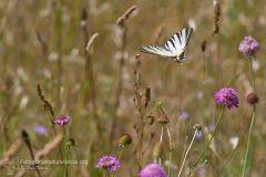 Podalirio, Iphiclides podalirius, Scarce swallowtail, Segelfalter, chupa leche, Flambé,