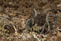 Ragno lupo, lycosidae, wolf spider, Wolfspinnen, araignées-loups -loups