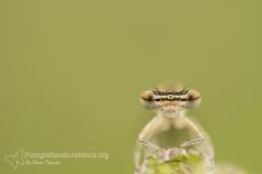 damigella_zygoptera_damselflies_fotografia_macro_photography_