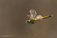 libellule anisoptera dragonflies fotografia macro photography