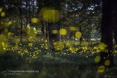 Lucciole, Lampyridae, Luciola, firefly, fireflies, Lucioles