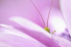 Ortotteri, grillo, cavalletta, Orthoptera, Grasshoppers, Crickets, Locusts,