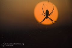 ragno vespa, argiope bruennichi, wasp spider, wespenspinne, araña tigre, Épeire fasciée,-araña_tigre_-Épeire_fasciée