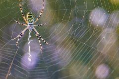 ragno vespa, argiope bruennichi, wasp spider, wespenspinne, araña tigre, Épeire fasciée,-araña_tigre_-Épeire_fasciée_1