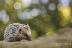 Riccio, Erinaceus europaeus, herisson commun, braunbrustig,, erizo, european, hedgehog,