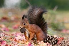 """""""scoiattolo rosso"""" """"sciurus vulgaris"""" """"red squirrel"""" """"ardilla roja"""" Eichhörnchen """"écureuil d'Eurasie"""""""
