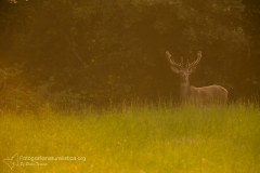 Cervo, cervus elaphus, red deer, ciervo cerf, elaphe rothirsch,