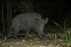 Cinghiale, sus scrofa, wild boar, sanglier, jabali, wildscwein,
