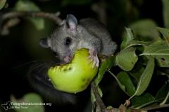 Ghiro, glis glis, edible dormouse, Siebenschläfer, lirón gris, Loir gris,