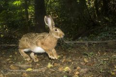 Lepre, lepus europaeus, lievre, feldhase, lièvre d'Europe, European Hare