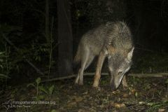 Lupo appenninico, Canis lupus italicus, appennine wolf, eurasian wolf, lobo europeo, lobo comun, Loup gris commun,