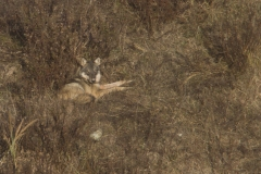 Lupo appenninico, Canis lupus italicus, appennine wolf, eurasian wolf, lobo europeo, lobo comun, Loup gris commun,