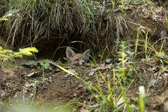 volpe, vulpes vulpes, red fox, Rotfuchs, zorro común, zorro rojo, Renard roux