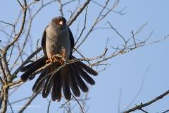 falco cuculo, Falco vespertinus, red-footed_falcon, rotfussfalke, cernicalo patirrojo, faucon kobez,