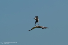 falco di palude, circus aeruginosus, marsh harrier, rohweiheaguilucho, lagunero, busard des roseaux,