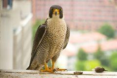 falco pellegrino, falco peregrinus,  brookei , peregrine falcon, Wanderfalke, halcón peregrino, Faucon pèlerin,-peregrino_wanderfalke_fauc-16