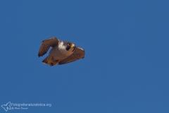 falco pellegrino, falco peregrinus,  brookei , peregrine falcon, Wanderfalke, halcón peregrino, Faucon pèlerin,-peregrino_wanderfalke_fauc-258