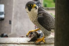 falco pellegrino, falco peregrinus,  brookei , peregrine falcon, Wanderfalke, halcón peregrino, Faucon pèlerin,-peregrino_wanderfalke_fauc-259