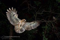allocco_strix_aluco_tawny_owl_waldkauz_carabo_comun_chouette_hulotte_8