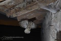 Civetta comune, Athene noctua, Little Owl, Steinkauz, Mochuelo europeo, Cheveche,