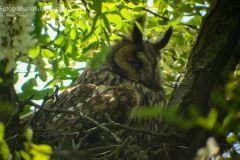 Gufo comune, asio otus, long eared owl, Waldohreule, búho chico, Hibou moyen-duc,