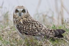 Gufo di palude, asio flammeus, short-eared owl, sumpfohreule, buho campestre, hibous des marais, hibou brachyote