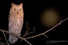 assiolo, otus scops, scops owl, Petit duc-scops, Autillo europeo, Zwergohreule,