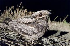 Succiacapre, Caprimulgus europaeus, nightjar, Ziegenmelker, chotacabras gris, chotacabras europeo,   Engoulevent d'Europe,
