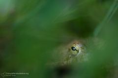 Rospo smeraldino, Bufotes viridis, bufo green, toad sapo verde, Wechselkröte, Crapaud vert