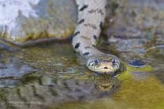 Natrice dal collare, biscia dal collare, natrix natrix, helvetica, grass snake, Ringelnatter, culebra de collar, couleuvre a collier,