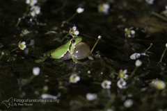 Raganella italiana, Hyla intermedia, Italian tree frog, Italienischer, Laubfrosch,  ranita italiana