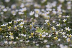 rane_anfibi_amphibia_anura_frogs_toads_herpetology_photography_-23cc