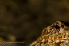 Rospo comune, Bufo bufo, common toad, Erdkröte, Crapaud commun-8c