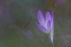 Colchico d'autunno, colchicum autumnale, autumn crocus, meadow saffron, naked ladies, Herbstzeitlose-Herbstzeitlose_-colchique-d'automne-2