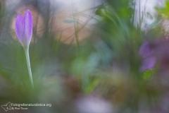 Colchico d'autunno, colchicum autumnale, autumn crocus, meadow saffron, naked ladies, Herbstzeitlose-Herbstzeitlose_-colchique-d'automne-3