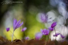 Colchico d'autunno, colchicum autumnale, autumn crocus, meadow saffron, naked ladies, Herbstzeitlose-Herbstzeitlose_-colchique