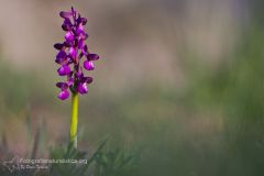 Orchide minore, anacamptis morio, green-winged orchid, Kleine Knabenkraut, orchis bouffon