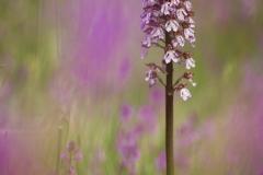 Orchidea maggiore, orchis purpurea, lady orchid, Purpur-Knabenkraut, orchis pourpre,