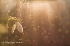 bucaneve, galanthus nivalis, snowdrop, Kleine Schneeglöckchen, perce-neige,
