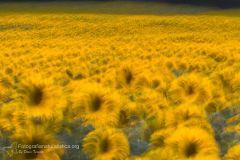 Girasole, helianthus annuus, sunflower, sonnenblume, tornesol