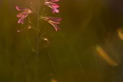 gladiolo dei campi, gladiolus italicus, common sword-lily, glaïeul des moissons