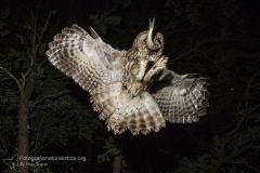 Allocco, Strix aluco, Tawny Owl, Waldkauz, Carabo comun, Chouette hulotte,