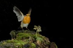 Pettirosso, erithacus rubecula, european robin, Rotkehlchen, petirrojo europeo, Rouge-gorge familier,